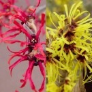 Hamamelis - Pair of Winter Flowering Witch Hazels in Red & Gold