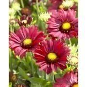 Gaillardia Burgundy - Gaillardia Blanket Flower