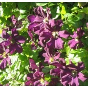 Clematis Romantika - Summer Flowering Clematis