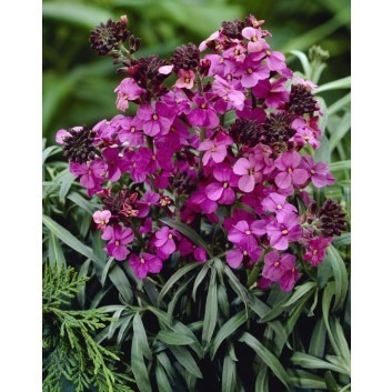 Erysimum Bowles Mauve - Perennial Wallflower - Pack of THREE in Bud & Bloom
