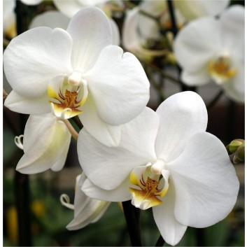 Luxury Phalaenopsis - WHITE Moth Orchid in Stylish White display pot