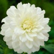 Dahlia White Onesta