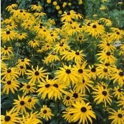 Rudbeckia fulgida ''Goldstrum'' - Golden Cone Flower - Black Eyed Susan