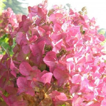Hydrangea paniculata Mega Mindy - Paniculata Hydrangea
