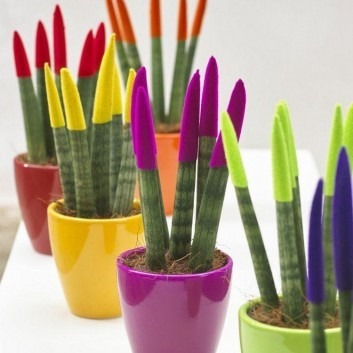 Sanseveria Velvet Touchz - Collection of THREE Assorted Colours