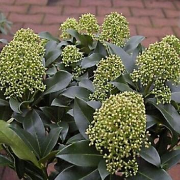 Skimmia japonica Thereza