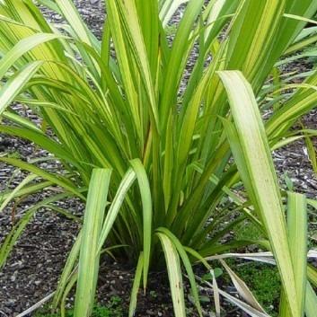 Phormium Gold Sword - New Zealand Flax
