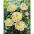 Paeonia lactiflora 'Primevere' - Peony