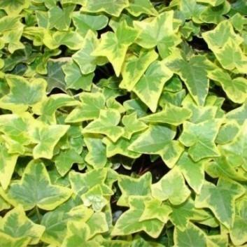 Hedera Helix Goldchild - Golden variegated Ivy