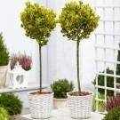 Pair of Euonymus  ovatus Aureus - Evergreen Golden Variegated Standard Topiary Trees