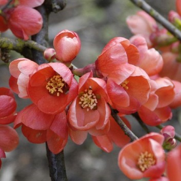 Chaenomeles superba Knap Hill Scarlet - Flowering Quince