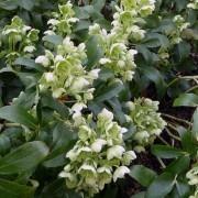 Helleborus Argutifolia - Hellebore argutifolius - Corsican Hellebore