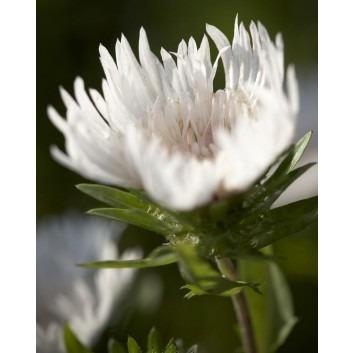 Stokesia laevis 'Alba' - White Stokes Aster