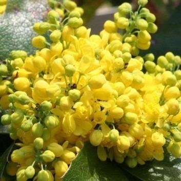 Mahonia aquifolium Apollo in Bud/Flower - Pack of THREE Plants