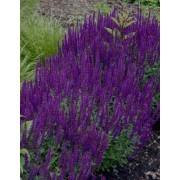 Salvia nemorosa 'Ostfriesland' - Pack of THREE Perennial Plants