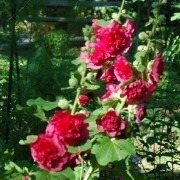 Alcea Chaters Double Red - Hollyhock (Althea)