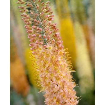 Eremurus x isabellinus Cleopatra - Foxtail Lily