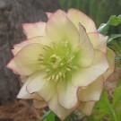 Helleborus Golden Lotus - Rare Double Flowered Yellow Hellebore