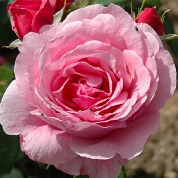 Rose Horatio Nelson - Shrub Rose