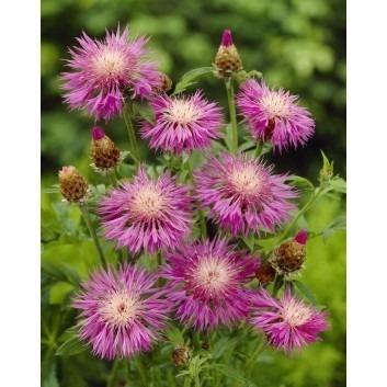 Centaurea ''Dealbata'' - Centurea