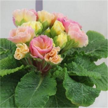 Primrose Bellerose - Pretty Pink Ruffled Flowers - Pack of THREE Plants