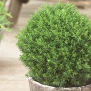 Thuja occidentalis 'Teddy' - Dwarf Slow Growing Conifer