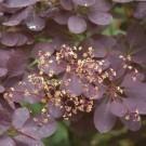 Cotinus Royal Purple - Smoke Bush