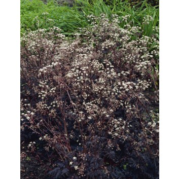 Anthriscus sylvestris Ravenswing - Black Cow Parsley