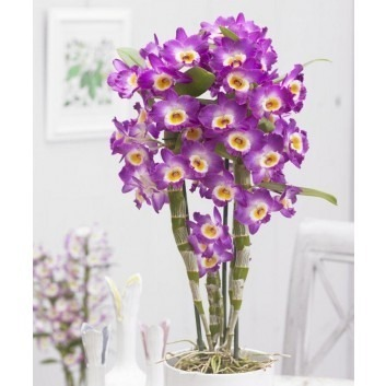 Dendrobium 'King' Towering Nobile Orchid Premium Quality with Silver Pots - TWIN PACK