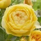 Rose Graham Thomas ® - David Austin ® Old English Shrub Rose