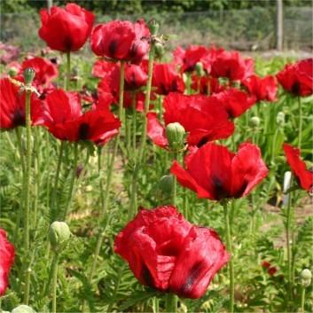 Papaver orientale Brilliant - Blood Red Oriental Poppy - Pack of THREE Plants