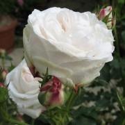 Rose Boule de Neige - Bourbon Shrub Rose