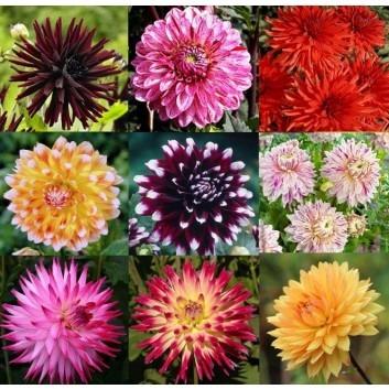 SPECIAL DEAL - Premium varieties Dahlia Collection - Breeders Special Mix - Pack of TEN