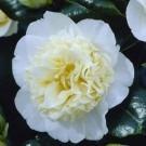 Camellia japonica Brushfield Yellow - Double Flowered Bushfield Camellia
