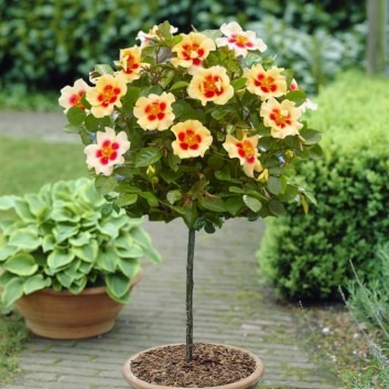 Pair of Standard Rose Trees - Babylon Eyes CREAM - with Tuscany Planters