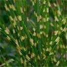 Miscanthus sinensis Zebrinus - Zebra Grass
