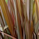 Phormium tenax Flashdance - New Zealand Flax