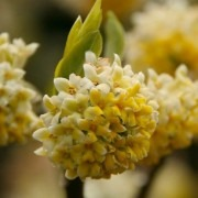 Edgeworthia chrysantha 'Nanjing Gold' - Paperbush - LARGE