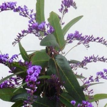 "Hardenbergia violacea ""Happy Wanderer"" - Evergreen Purple Coral Pea"
