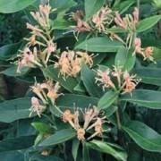 Lonicera henryi - Evergreen Honeysuckle