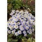 Aster novi belgii 'Lady in Blue'  - Michaelmas Daisy