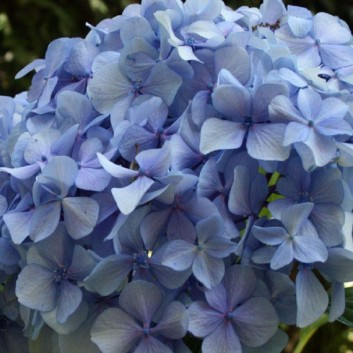 Giant Flowered Football-Sized Blue-Pink Hydrangea - LARGE PLANTS