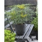 Mahonia Soft Caress - Spineless Evergreen Mahonia Shrub - Pack of THREE Plants
