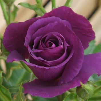 Rose Rhapsody in Blue - Floribunda Rose