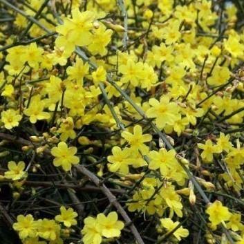 SPECIAL DEAL - Jasminum nudiflorum - Winter Jasmin - Bright Yellow Flowering Winter Jasmine
