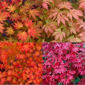 Acer palmatum 'Ariadne' -  Exquisite Japanese Maple
