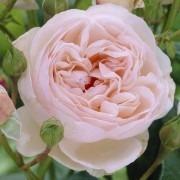 Rose Heritage ® - David Austin ® Old English Shrub Rose