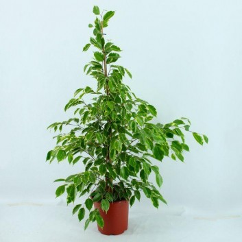 Ficus benjamina Golden King - Weeping Fig - House Plant - 100-150cms tall