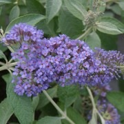 Buddleja Lochinch - Buddleia Butterfly Bush
