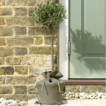 MOTHERS DAY - Premium Quality Standard OLIVE TREE in Jute Wrap